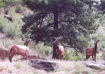 Elk in velvet.1