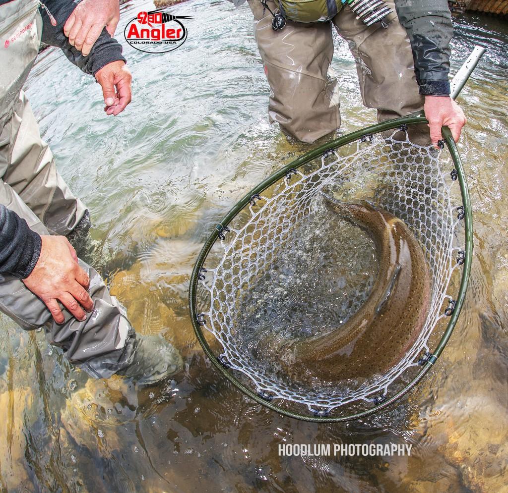 Huge Trout in the Net.1
