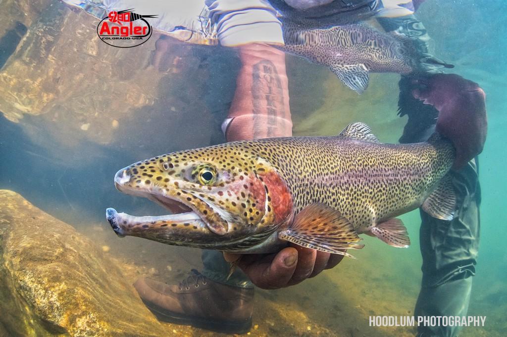 Underwater Rainbow Trout.1